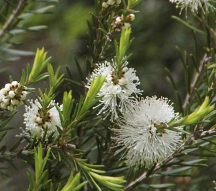 עץ התה (MELALEUCA ALTERNIFOLIA / TEA TREE)